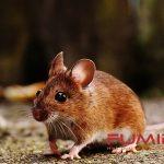 15 Cara Membasmi Dan Mengusir Tikus Dari Rumah