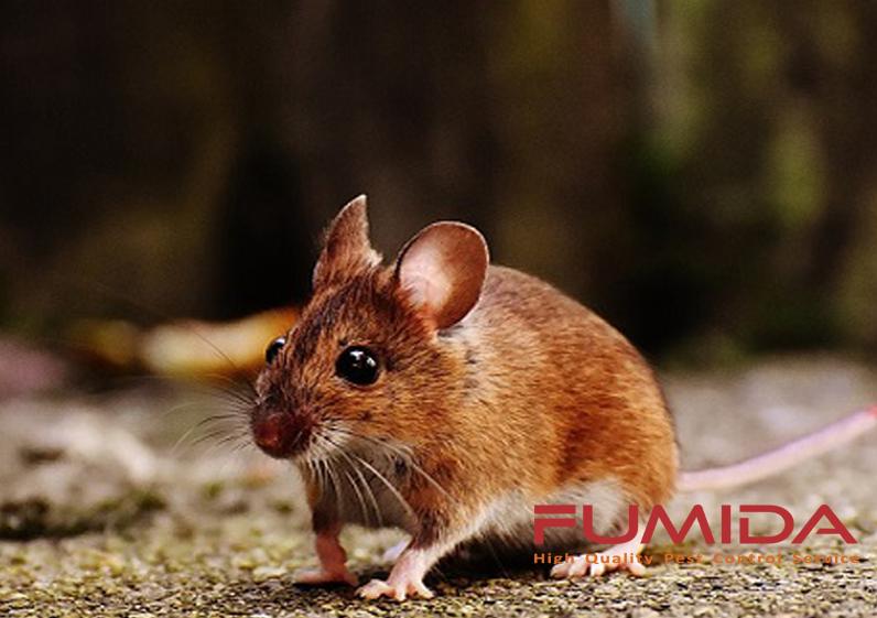 Cara Mengusir Dan Membasmi Tikus Dari Rumah