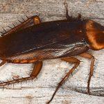 Yuk Kenali Macam-Macam Kecoa dan Cara Penanganannya
