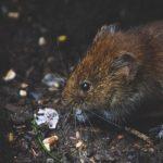 Kenali 2 Jenis Pestisida Pengusir Tikus: Kimia dan Alami