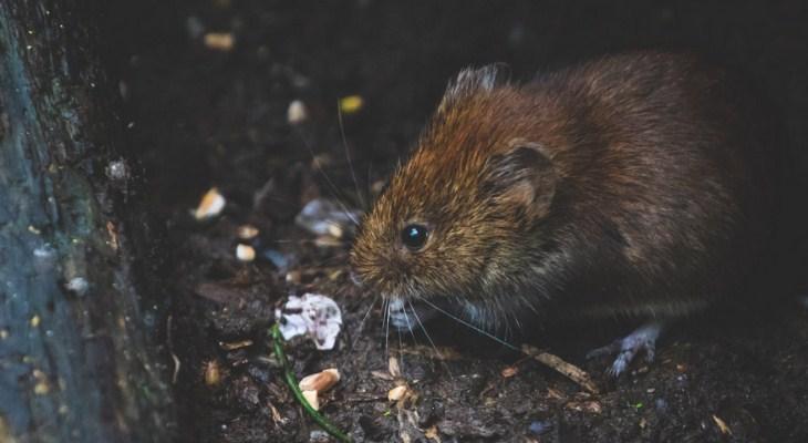Gambar Pestisida Pengusir Tikus