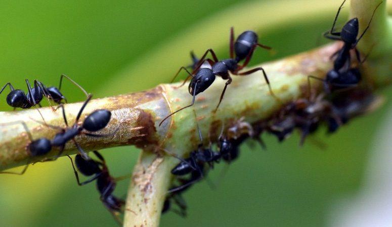 Gambar Cara Membasmi Semut Hitam di Pohon Mangga