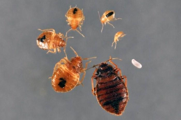 Gambar Cara membasmi Kutu Busuk dan Telurnya Sampai Tuntas