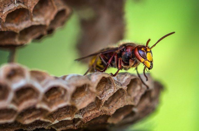 Cara mengusir tawon secara lengkap tahap awal - akhir