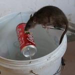 4 Cara Menjebak Tikus, Tangkap Semuanya Secara Masal!
