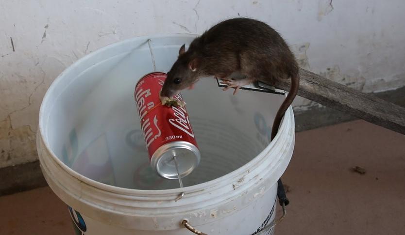 Gambar Cara Menjebak Tikus
