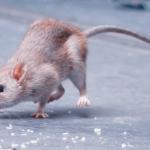 Macam-Macam Tikus, Habitat, Ciri-Ciri, dan Kotorannya