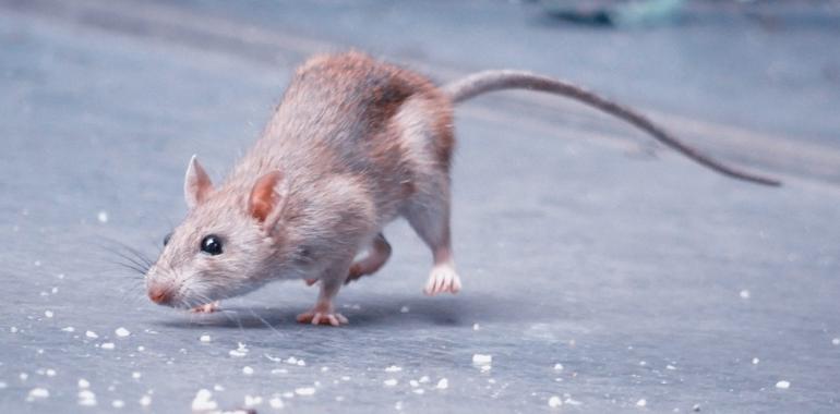 Gambar Macam-macam Tikus