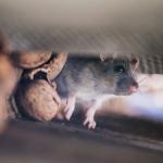 5 Perangkap Tikus Berbahan Sederhana Tapi Mematikan