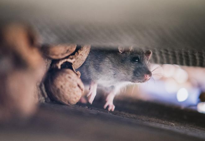 Gambar Perangkap tikus yang bisa dibuat sendiri dari bahan sederhana