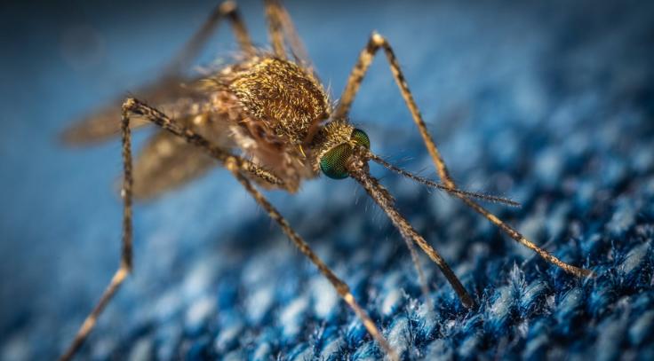 Gambar Siklus Hidup Nyamuk