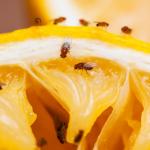 9 Tanaman Pengusir Lalat Buah Paling Ampuh dan Simpel