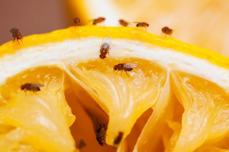 Gambar Tanaman Pengusir Lalat Buah
