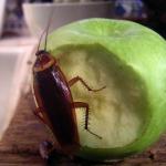 Kenali Bahaya Kecoa Secara Lengkap dan Saat Diinjak Mati