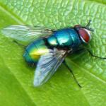 Lalat Hijau: Ciri-Ciri dan Bahayanya Saat Masuk Rumah