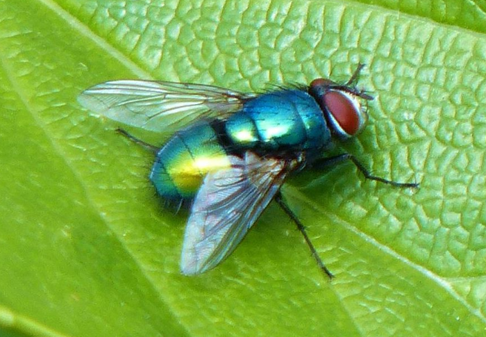 Gambar Bahaya lalat hijau