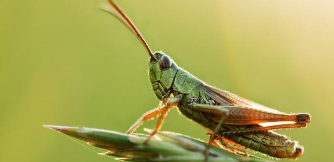 Gambar Hewan Perusak Tanaman - belalang