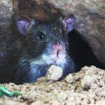 Cara Mengusir Tikus yang Merajalela di Rumah