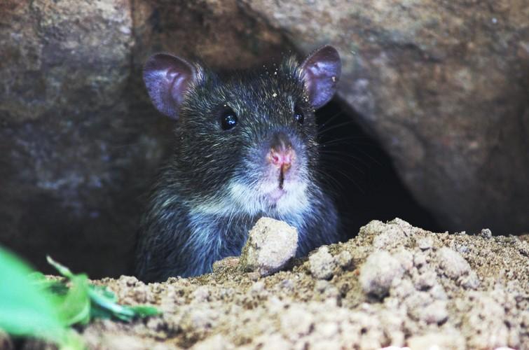 Gambar 2 - Cara mengusir tikus yang merajalela