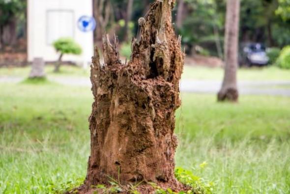 Cara membasmi rayap tanah pada tanaman