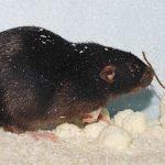 Cara Membasmi Tikus di Dapur Rumah Anda
