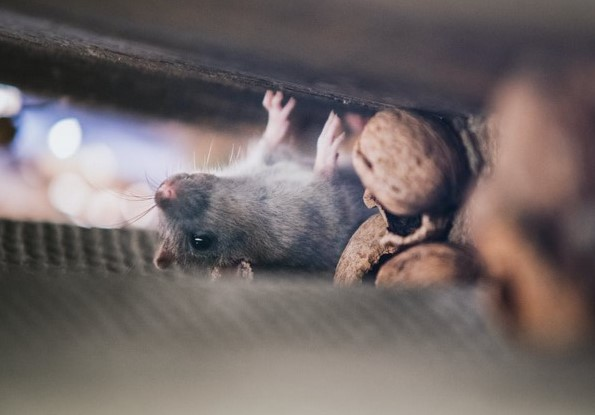 Gambar 2 - Cara mengusir tikus dari plafon rumah secara efektif