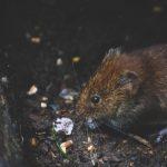 Cara Mengusir Tikus Got dari Rumah
