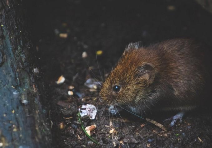 Gambar 2 - Cara mengusir tikus got dari rumah