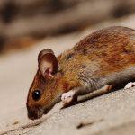 Cara Mengusir Tikus dengan Kapur Barus