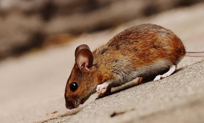 Gambar 2 - Langkah sederhana cara mengusir tikus dengan kapur barus