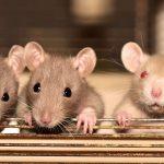Tips-tips Mencegah Tikus Masuk Rumah