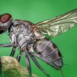 Klasifikasi Jenis Lalat dari yang Biasa Hingga Berbahaya