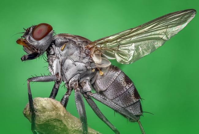 Gambar 1 - Jenis lalat yang ada di Indonesia dan paling sering dijumpai