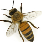 12 Jenis Lebah di Indonesia, Habitat, dan Ciri-Cirinya