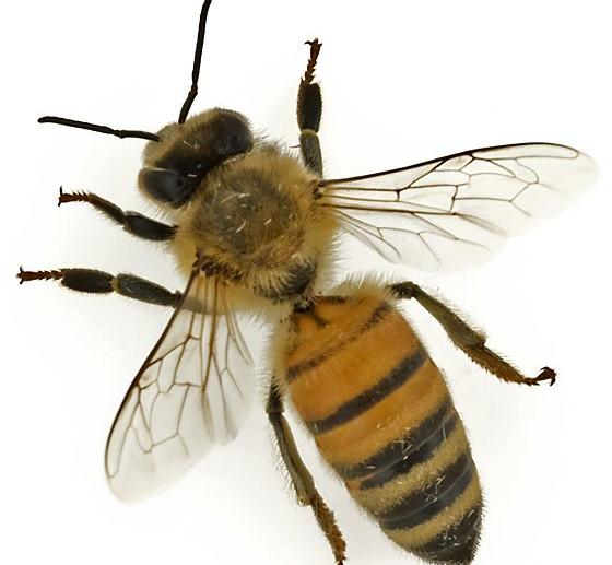 Gambar 1 - Jenis lebah madu