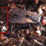 Jumlah, Bahaya, & Cara Mengatasi Telur Lalat yang Termakan