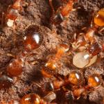 Siklus Hidup Semut: Durasi, Usia, dan Cara Mencegahnya