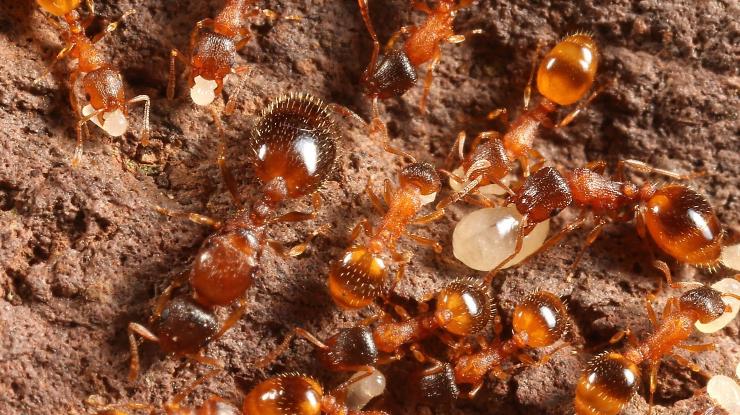 Gambar 1 - Siklus hidup semut, hewan dengan metamorfosis sempurna