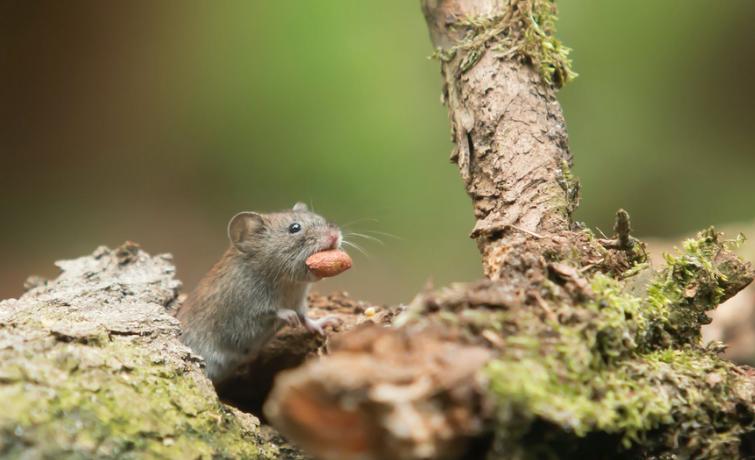 Tikus dapat menyebabkan penyakit yang beragam