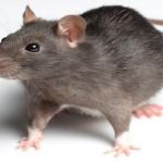 Pengendalian Tikus: Obat dan Rekomendasi Jasa Pembasmi