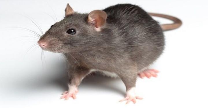 Gambar 1 - Tujuan pengendalian tikus