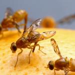 Bahaya Lalat Buah dan Cara Mengusirnya yang Alami & Aman