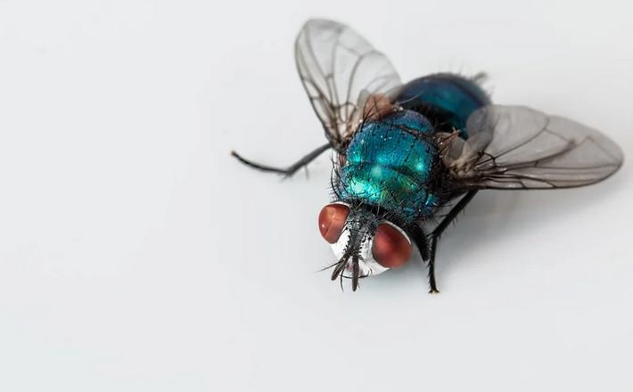 Gambar 2 - Calliphora vomitoria, klasifikasi lalat hijau