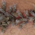 Bagan Daur Hidup Lalat, Faktor Pengaruh, dan Fakta Menarik