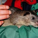 Tikus Besar dan Rumahan: Perangkap dan Penanganannya