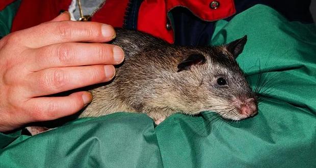 Gambar 2 - Tikus besar yang ada di Indonesia