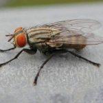 Spesies Lalat yang Sering Kita Jumpai