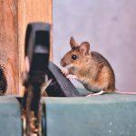 Mengapa Tikus Menjadi Hama yang Merugikan Manusia?
