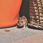 Jenis-jenis Tikus yang Ada di Rumah