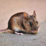 Cara Mengetahui Di Mana Lokasi Sarang Tikus di Rumah